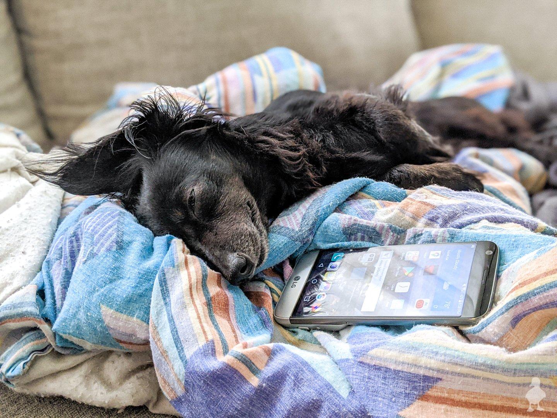 Stella likes to sleep on phones and remotes