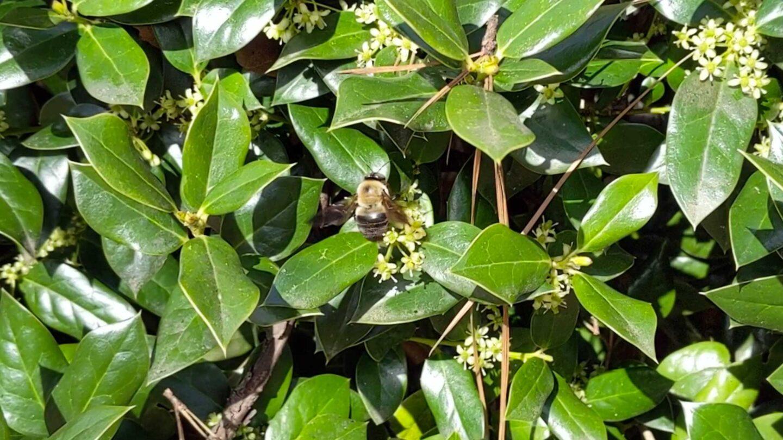 carpenter bee pollinating flowers