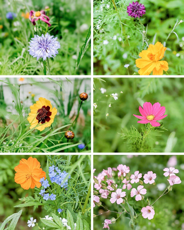 lots of varieties of wildflowers grow well in a butterfly garden